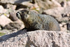 Yellow-bellied Marmot (mooreskyler242) Tags: yellowbelliedmarmot mtevans mountevans