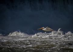 Fearless Freddie (skram1v) Tags: pelican american dangerous conditions fish lockport aug2017