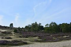 nationaal park veluwezoom_D717774 (Vogelmelk) Tags: veluwe veluwezoom posbank heide nature natuur nederland