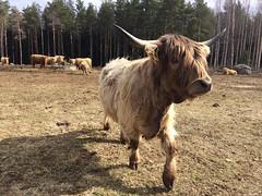 Yak suomi Finland (vladimirfeofanov) Tags: yak suomi finland