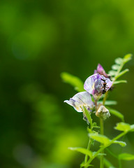 Ant on a tiny flower (ChicqueeCat) Tags: insects ants tiny flower nature flora fauna outdoor natural light nikon d3300 macro 40mm closeup