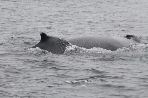 Megaptera novaeangliae - Ballena jorobada - Humpback whale