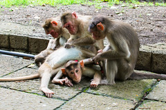 Monkeys of Elephanta Island (Sebhue) Tags: mumbai monsones india elephantaisland bombay