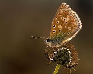 Adonis Blue,polyommatus bellagrus.