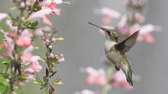 Pretty With Pink_DSC7207 (DansPhotoArt) Tags: hummingbird alert archilocuscolubris backyard aves balance beautiful beauty beijaflores bokeh bird colibris fauna free fresh garden migratory nature nopeople outdoors passaros rubythroatedhummingbird wildlife wings