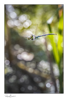 Flying through the bokeh - Dragonfly in flight