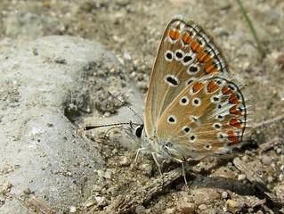 Aricia agestis, Brown Argus