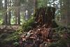 Mossy stump (~ Maria ~) Tags: tyresta forest autumn nature nationalpark sweden september 2017 mariakallinphotography nikond800 nikon2470mm