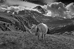 My Switzerland in Black and white : A cow and the mighty Eiger. Izakigur   No. 8489. (Izakigur) Tags: cow eiger blackwhite switzerland svizzera lasuisse lepetitprince thelittleprince ilpiccoloprincipe helvetia liberty izakigur flickr feel europe europa dieschweiz ch musictomyeyes nikkor nikon suiza suisse suisia schweiz suizo swiss سويسرا laventuresuisse myswitzerland landscape alps alpes alpen schwyz suïssa d700 nikond700 nikkor2470f28 berneroberland kantonbern milka lait milk topf25 topf1000