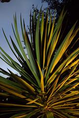 _MG_2003.CR2 (jalexartis) Tags: yucca yuccaplant shrub shrubbery nightphotography night nightshots dark lighting camranger lumecube