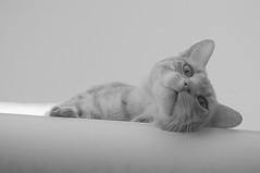 Un Gato sin Nombre (Tomás Hornos) Tags: gato cat chat blanco negro white black blackwhite clavealta kitten monocromático monocromo blancoynegro blackandwhite