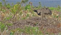 Rhea americana - ema (Conexão Selvagem) Tags: observaçãodeaves serra canastra parque nacional cerrado aves bird wildlife galito rapina gavião