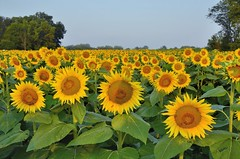 Grinter Sunflower Farm (jpellgen (@1179_jp)) Tags: ks kansas roadtrip travel usa america 2017 september summer lawrence farm sunflower sunflowers nikon d7000 sigma 1770mm morning sunrise sun grinterfarms grintersunflowerfarm grinter