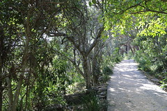 Rainforest fit for a King, with Sandpaper Fig (Ficus coronata) (Poytr) Tags: barrenjoey kuringgaichasenationalpark palmbeachnsw palmbeach moraceae ficus ficuscoronata portjacksonfig littoralarf littoralrainforest tree road park arfp nswrfp qrfp