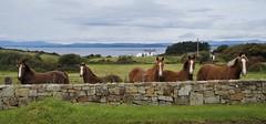 Horses by the sea. (carolinejohnston2) Tags: horses sea seaside wall ireland donegal equines coast countryside animal