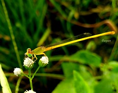 Damselfly. (gagan_bisen) Tags: nature damselfly india insect flower animal nationalgeographic mobilephotography white green