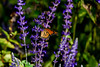 Butterfly 1 (gdajewski) Tags: d750 dajewski nikonafsnikkor200500mmf56eedvr nikond750 sb900 butterfly flash gdajewski speedlight