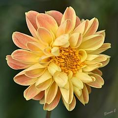 Dhalia in the Rose Garden (Eleanor (No multiple invites please)) Tags: busheyrosegarden bushey uk nikond7200 105mmmacrolens august2017
