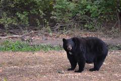 DSC_7385 Momma's not liking it (futzr.fotoz) Tags: fort simcoe state park yakima county washington north american black bear oak apple trees alert alarm acorns
