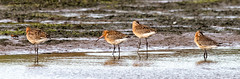 Black Tailed Godwits (Catherine Cochrane) Tags: birds godwits nature outdooor outdoors wildlife ayrshire