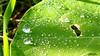 87 (bebsantandrea) Tags: levanto baiedellevante liguria natura campagna wild giardino fiori rosa pesco ciliegia fico ficodindia carciofo formica topo libellula mosca zanzara grillo ape vespa lucertola lizard farfalla butterfly riccio cimice ramarro afide pianta albero ragnatela gocce raindrop microcosmo sfingedelgalio farfallacolibrì ragno spider limone arancio arancia boragine impollinatrice cicala autunno estate primavera inverno bruco margherita zucca lampone fragola mantidereligiosa gallina coniglio coccinella kiwi