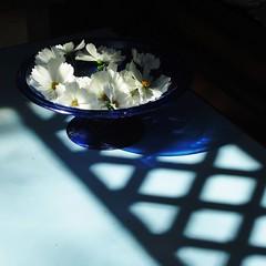 White cosmos (nathaliedunaigre) Tags: stilllife naturemortemaissivivante contraste contrast cosmos fleurs flowers coupe bleu blue ombres shadows lumière light carré square composition