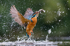 The King at 16K (Mr F1) Tags: iso 16k 16000 johnfanning alcedoathis king kingfisher fish fishing hunting nature outdoors detail electric blue flash wild