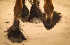Wemmel, Jaarmarkt 2017 #69 (foto_morgana) Tags: belgique belgium belgië hoof horse jaarmarkt2017 mammalia mammals mammifères nature säugetiere wemmel zoogdieren animal
