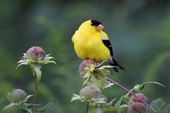 Goldfinch in the bergamot (marensr) Tags: goldfinch finch gold bird nature yellow spinus tristis wild bergamot bee balm monarda fistulosa male birding