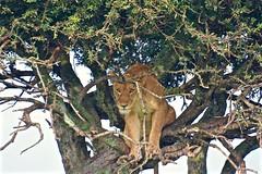 """I Saw You Coming"" (The Spirit of the World) Tags: lioness lion feline tree bigcat raresighting africa kenya themara masaimara eastafrica acacia safari gamedrive nationalpark gamereserve nature wildlife"