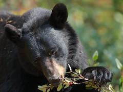 Bear claws! (fred.colbourne) Tags: bear blackbear animal wildlife banffnationalpark paw claws berries bearclaw
