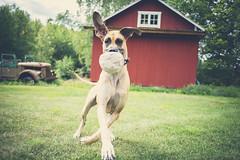 Doris (JosefineKphotography) Tags: granddanois dogs dog dogdays bokeh canonef35mmf2 canoneos5dmarkiii canon canonmoment beyondbokeh sweden swedishcountryside swedishbackyard södermanland sköldinge sverige scandinavia animals