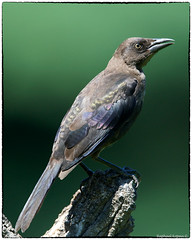 Mrs. Grackle (Explored, Aug 14, #268) (RKop) Tags: birdfeederblind raphaelkopanphotography cincinnati ohio d500 nikkor600f4evr 14xtciii monopod nikon