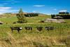 Pig Skin Fence, Taieri Ridge, Otago (flyingkiwigirl) Tags: bridge church fence haasteagle historic hyde macraes macraesflat mine otago otagorailtrail pigskin rockpillarrange sculpture stanleyshotel taieririver pig skin taieri ridge
