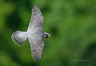 Peregrine Falcon (explored)