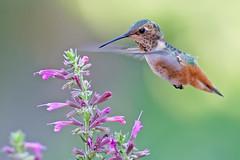 Floating (Life of David) Tags: california camarillo canon5dmarkiv selasphorussasin usa wildlife allenshummingbird backyard beautiful beauty bird nature agastache world100f