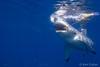 First Strike (Ken Eaton) Tags: bite greatwhiteshark guadalupeisland mexico ocean scubadiving shark solomarv