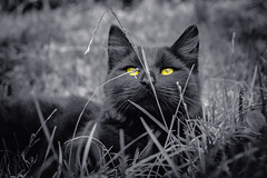 Sitting in the grass (Toukensmash) Tags: sitting grass meadow cat feline whisker black white tiger closeup low angle sony alpha58 looking blade culm grassland cats one colour colourful pet pets portrait animal laying nature