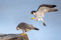 Peregrine Falcons (Photosequence) Tags: falcon raptor talon hawk predator birdofprey
