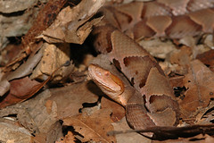 Agkistrodon contortrix phaeogaster (rdodson76) Tags: agkistrodoncontortrixphaeogas osagecopperhead copperhead snake reptile viper pitviper venomous nature animal wild wildlife camouflage hidden leaves beauty habitat agkistrodoncontortrixphaeogaster
