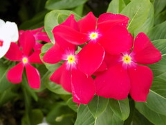 Red Vinca Flowers. (dccradio) Tags: lumberton nc northcarolina robesoncounty outdoors outside nature nikon coolpix l340 bridgecamera vinca vincas flowergarden flowerbed flower floral flowers greenery plant leaf leaves foliage red redvincas