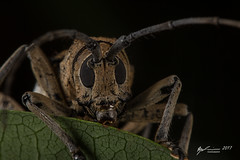 Unknown Longicorn (R. Francis) Tags: rhytiphorasp longhorn beetle longhornbeetle longicornbeetle qld queensland fitzroyisland ryanfrancis ryanfrancisphotography
