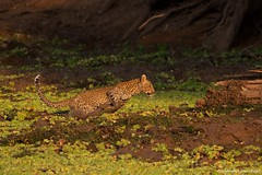 IMGP5673 Leopard cub in the mud (Claudio e Lucia Images around the world) Tags: leopard cub mud swamp zambia southluangwanp water sigma