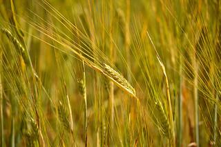 Golden August. The Rye field. Finland.