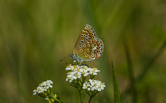 Common blue (Bojan Žavcer) Tags: polyommatusicarus blue butterfly closeup animal wildlife nature canoneos7dmarkii ef600mmf4lisusm ngc canonflickraward