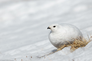 BJ8A9129-White-tailed Ptarmigan