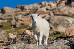 Mountain Goat kid standing on high