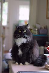 Batman by the sink (rootcrop54) Tags: batman fluffy tuxedo male longhaired longhair furry neko macska kedi 猫 kočka kissa γάτα köttur kucing gatto 고양이 kaķis katė katt katze katzen kot кошка mačka maček kitteh chat ネコ