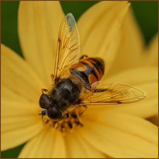 P1190532-1 - Dronefly on Coryopis