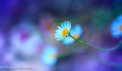 A lot (frederic.gombert) Tags: flower flowers light sun sunlight color daisy garden plant sony macro white blue